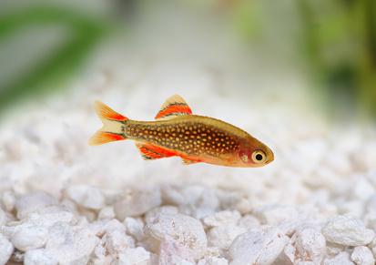 Galaxy Rasbora Danio margaritatus, pearl danio aquarium fish