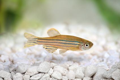 Zebrafish Zebra Barb Danio rerio freshwater aquarium fish